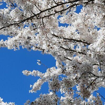 Sakura - het lied van de Japanse kersenbloesem